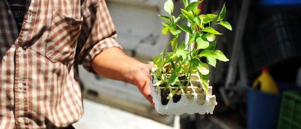 Jeune plant pour verger à planter