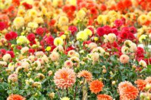 Jolies fleurs de Dahlia