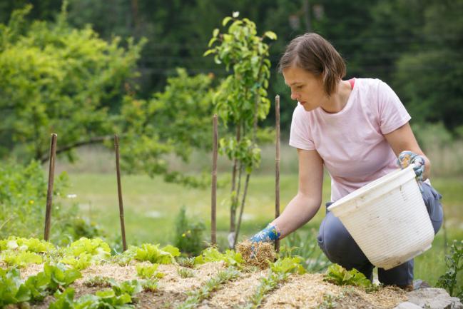 Paillage du sol du potager
