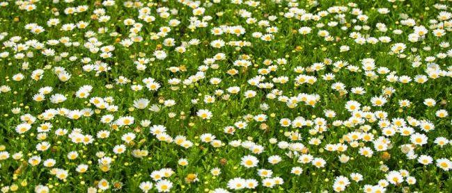 Pelouse ecologique avec marguerites fleuries au printemps