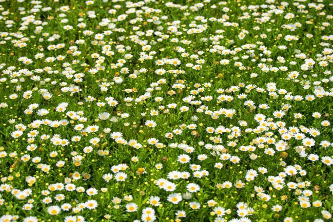 Pelouse écologique avec marguerites fleuries au printemps