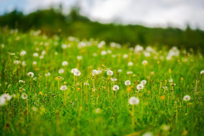 Pelouse écologique fleurie