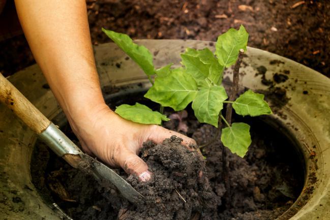 Planter des aubergines dans le jardin