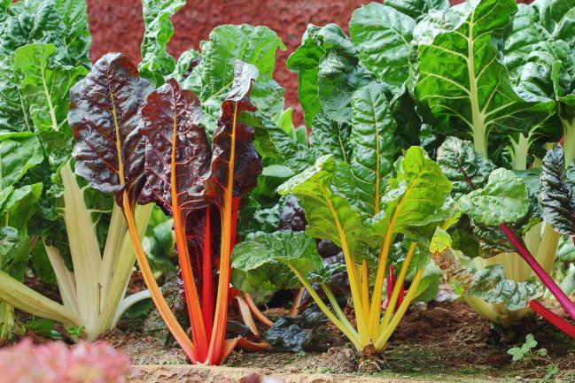 Planter des blettes dans un petit jardin