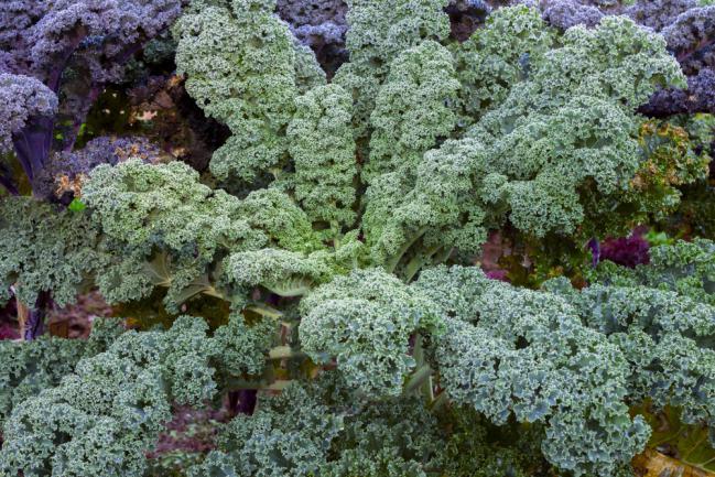 Planter des choux kale ou choux frisés
