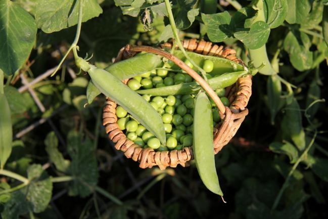 Planter des petits pois dans un petit jardin