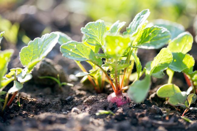 Planter des radis dans un petit jardin