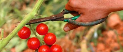 Planter des tomates cerises dans un petit jardin