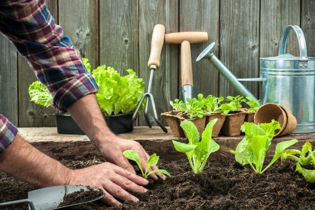 Planter la salade dans le jardin