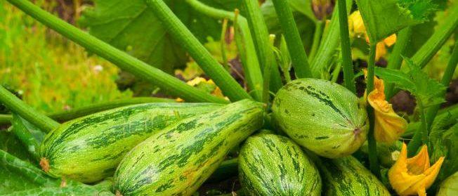 Planter une courgette dans un petit jardin