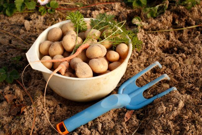 Pommes de terre fraîchement récoltées du jardin