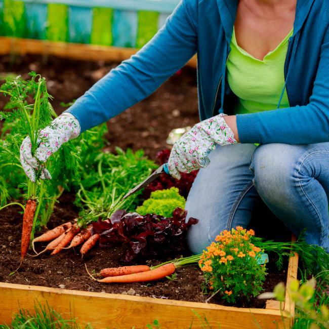 Premières pousses de carottes d'un petit jardin