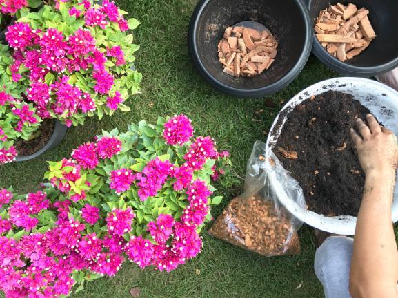 Préparation du sol pour la plantation de bougainvilliers