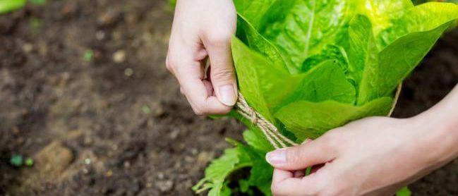 Protéger la salade avec une corde