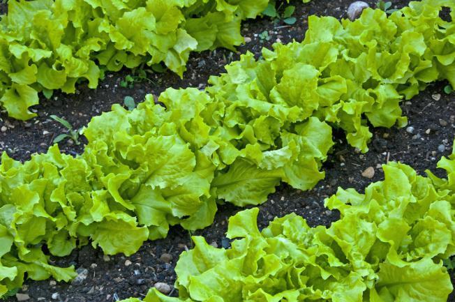 Rangées de salades dans le jardin