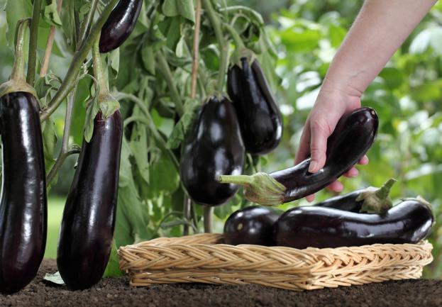 Récolte d'aubergine dans le jardin