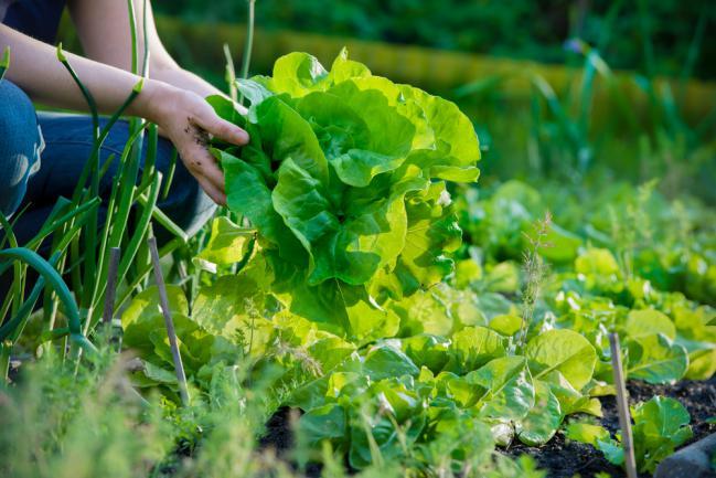 Récolte salade