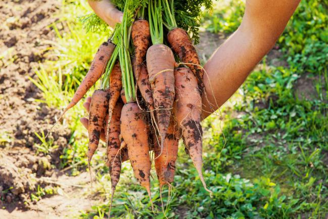 Récolter les carottes du jardin