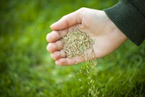 Regarnissage de la pelouse à l'aide de nouvelles semences d'herbe