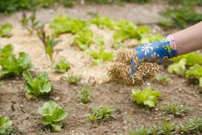 Répandre de la paille sur un potager en permaculture