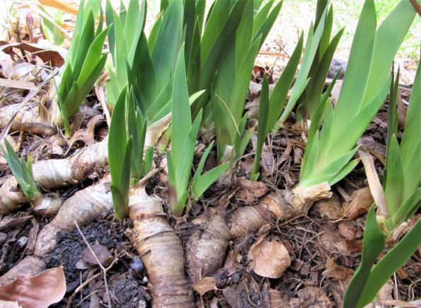 Rhizomes d'iris en saillie dans le jardin