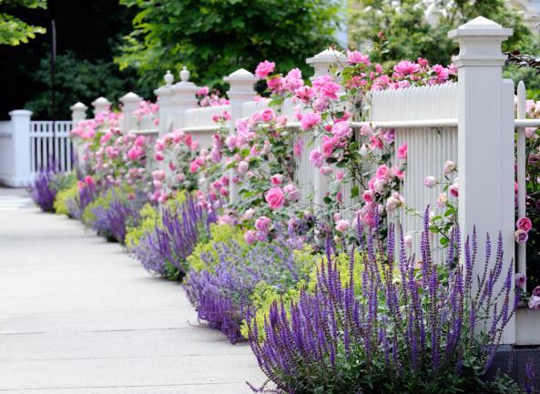 Roses grimpant sur une clôture en bois