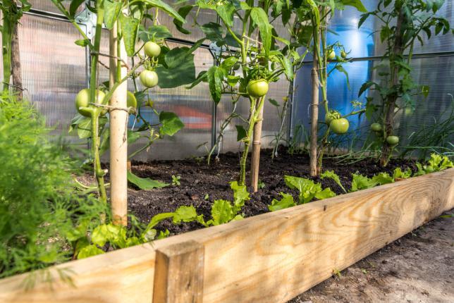 Tomates cultivées sous serre