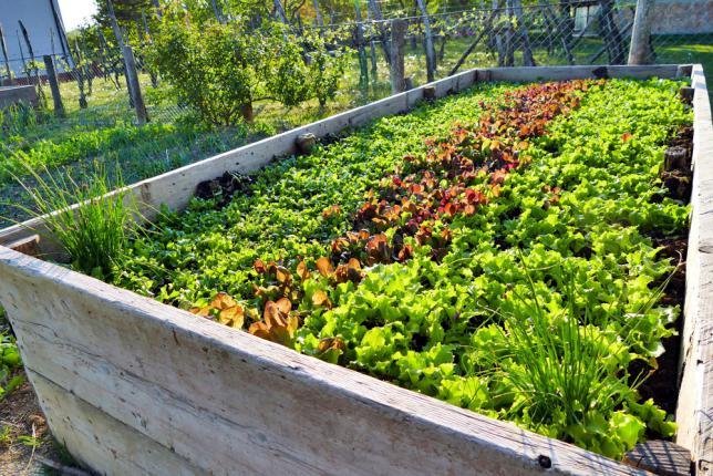 Trois rangées de salade cultivées en permaculture dans un carre potager