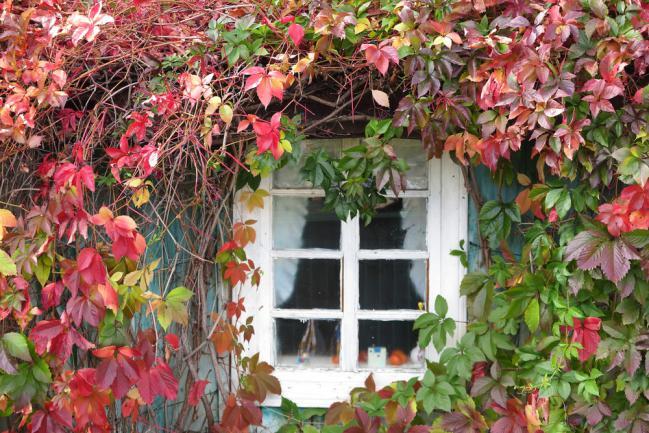Vigne verte autour de la fenêtre