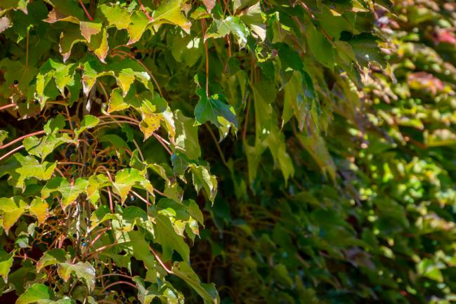 Vigne verte ou Parthenocissus tricuspidata