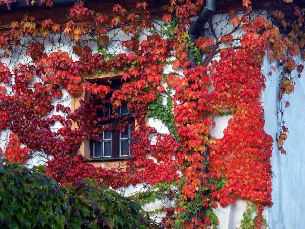 Vigne vierge rouge contre la façade de la maison