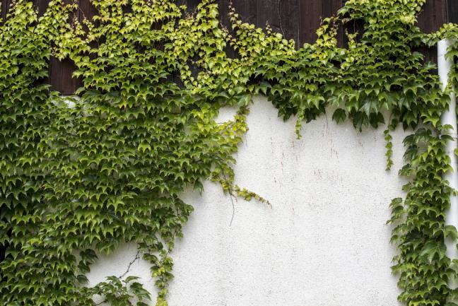 Vigne vierge verte longeant un mur de clôture