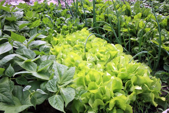 oignons, salades, haricots et betteraves, cultives en permaculture. Potager respectueux de l'environnement