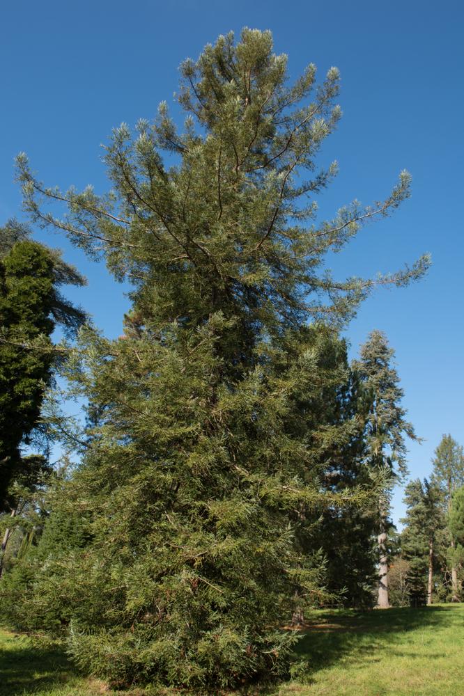 Arbre de séquoia