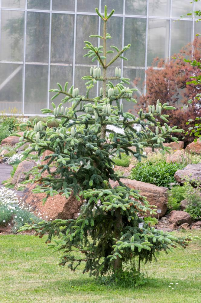 Sapin d'Andalousie dans le jardin