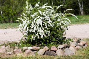 Arbuste de spirées fleuri
