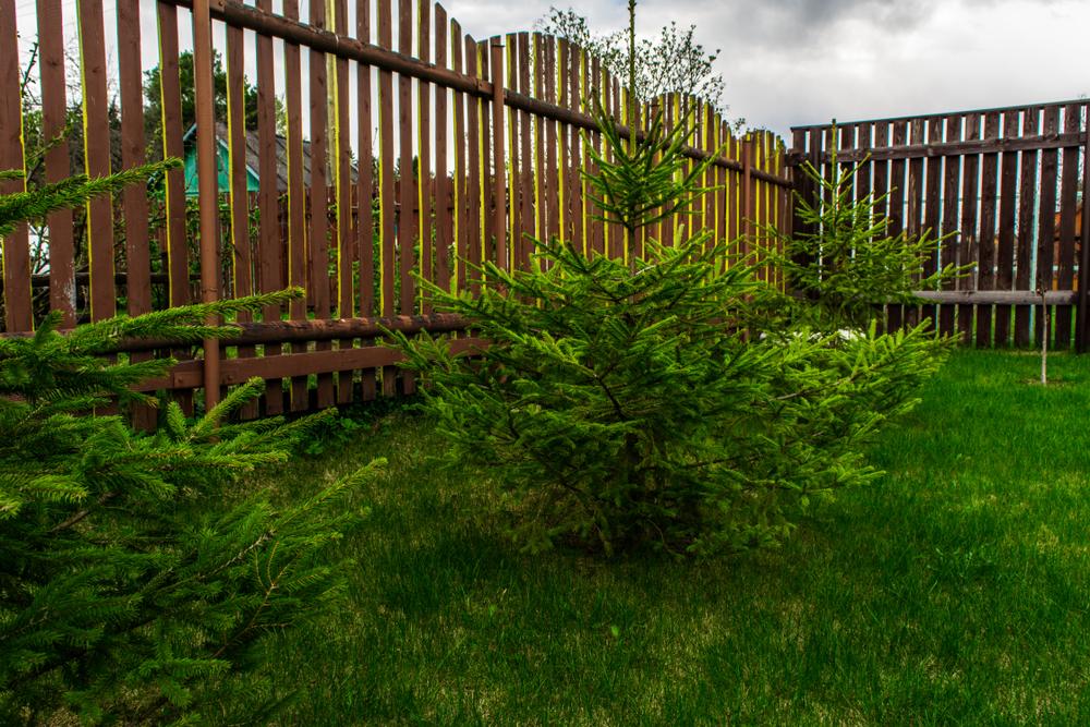 Sapins nains plantés dans le jardin