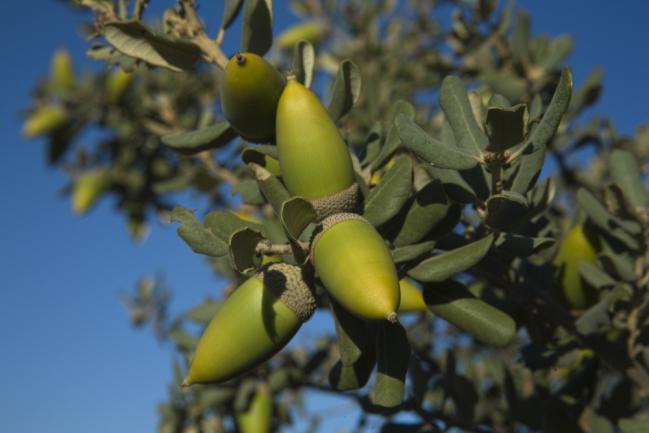 Branche pleine de glands de chêne truffier vert