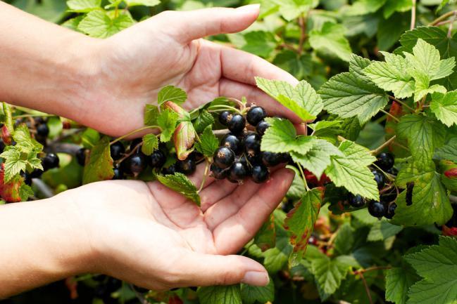 Cultiver du cassis dans le jardin