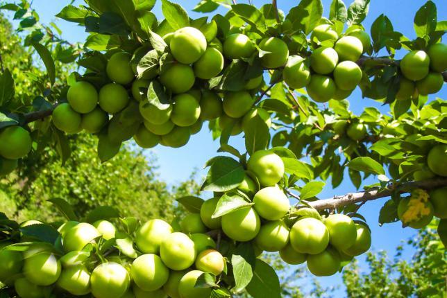 Cultiver des prunes dans le jardin - Prune d'Azerbaïdjan. La prune contient beaucoup de vitamines B et C, Il contient des vitamines B1, B2, B3, B6 et E