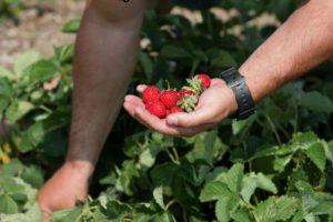 Cultiver fraisier jardin