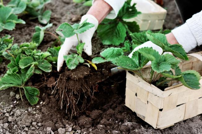 Cultiver fraisier