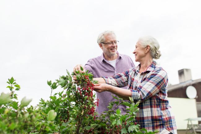 Entretenir le groseillier dans le jardin