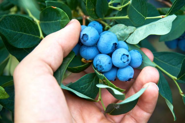 Cultiver du myrtille jardin