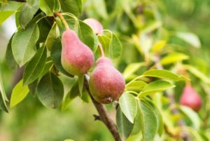 Cultiver poirier - variete europeenne 'Pyrus Communis'