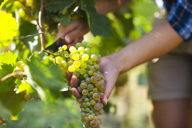 Cultiver vigne jardin