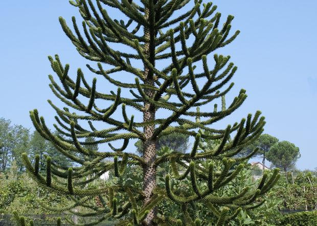 Désespoir de singes ou Araucaria araucana