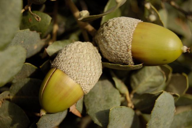 Deux glands de truffes sur une branche de chêne vert
