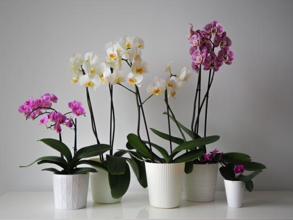 Différentes orchidées pour l'intérieur
