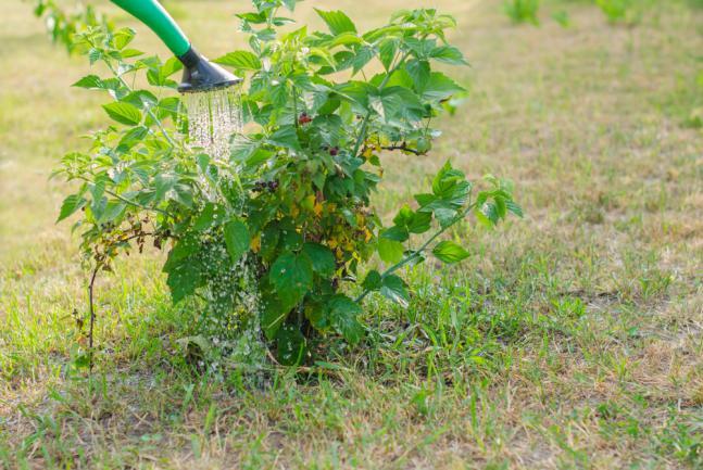 Entretien d'un jeune arbuste framboisier
